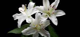 Are Lilies Poisonous To Dogs