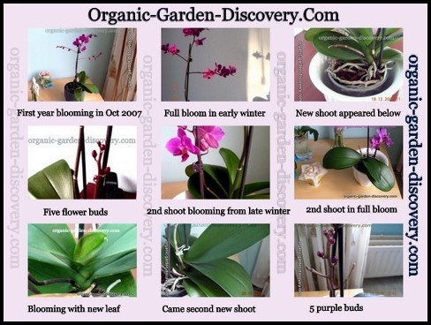 Caring For Orchids Indoors