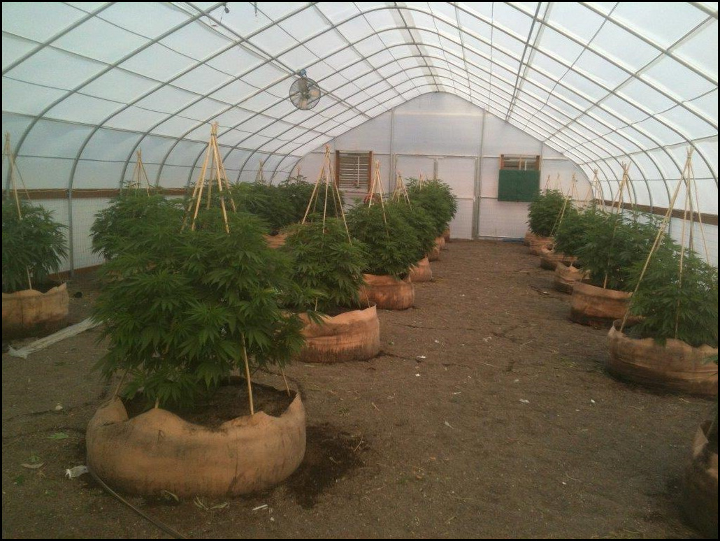 Growing Weed In A Greenhouse