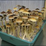 How To Grow Psychedelic Mushrooms