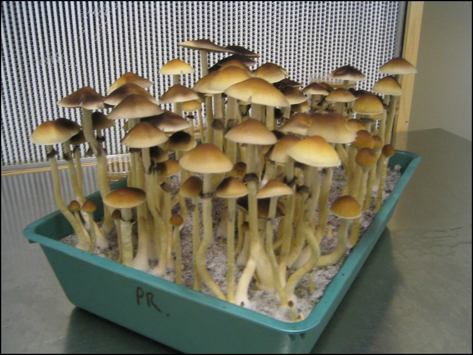 how to grow psychodelic mushrooms