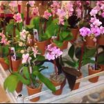 Mini Orchids For Sale