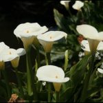 Pictures Of Calla Lilies