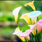 Pictures Of Calla Lily Flowers