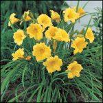 Stella D Oro Lily