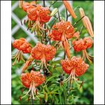 Tiger Lily Bulbs For Sale
