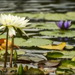 Water Lily Vs Lotus