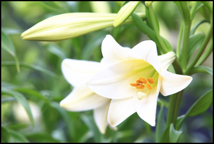 What Do Lilies Represent