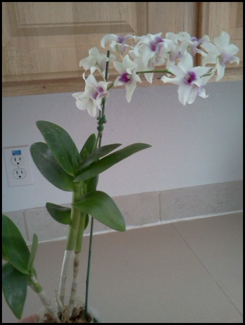 What Type Of Orchid Do I Have