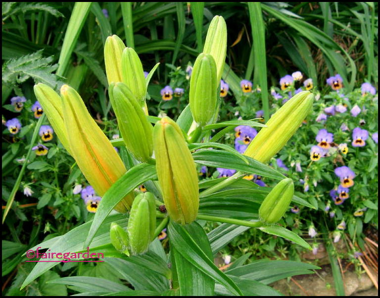 When Do Lilies Bloom