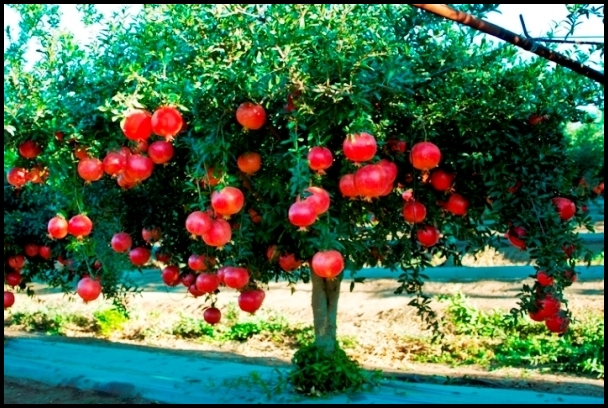 Where Do Pomegranates Grow