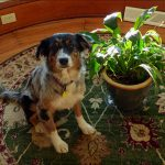 Are Peace Lilies Poisonous To Dogs