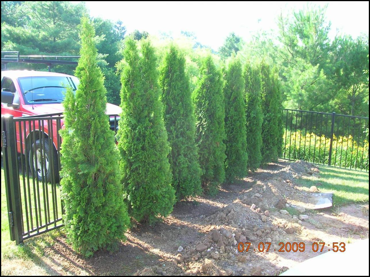 How Fast Do Emerald Green Arborvitae Grow