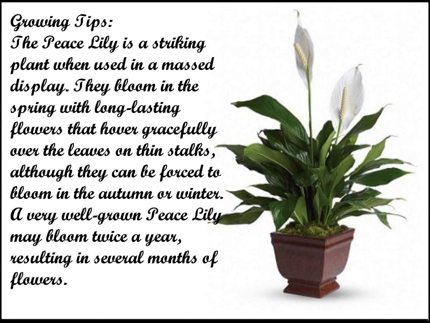 How to care for peace lily plants the garden how to care for peace lily plants izmirmasajfo