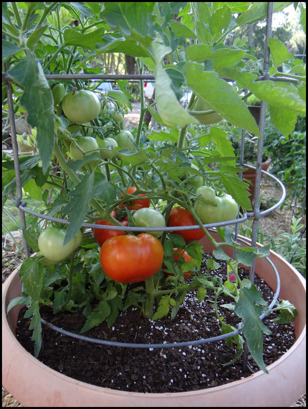 How To Grow Tomatoes In Florida