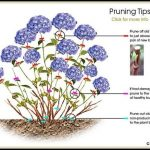 How To Prune Hydrangea