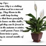 Peace Lily Care Indoor