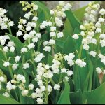 When To Plant Lily Of The Valley