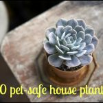 Are Succulents Toxic To Cats