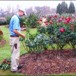 Best Mulch For Roses