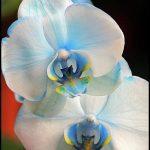 Blue Orchids For Sale