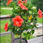 Braided Hibiscus Tree For Sale