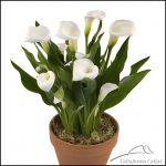 Calla Lily Bulbs For Sale