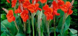 Canna Lilies For Sale