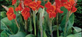 Canna Lily Bulbs For Sale