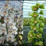 Cymbidium Orchid For Sale