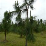 Fertilizer For Pine Trees