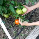 Fish Fertilizer For Tomatoes