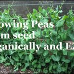 Growing Peas From Seed