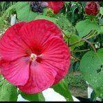 Hibiscus Plant Annual Or Perennial