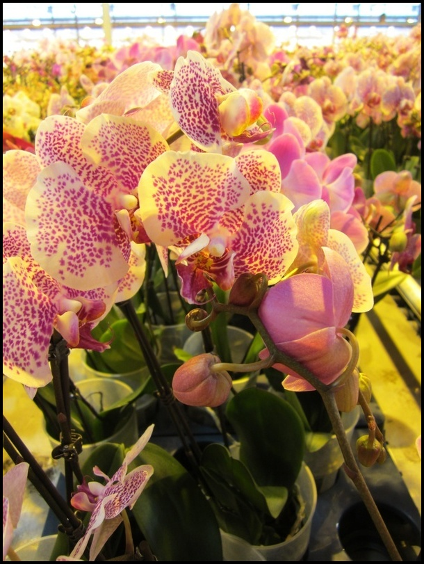 How Much Do Orchids Cost