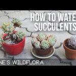 How Often Should I Water Succulents