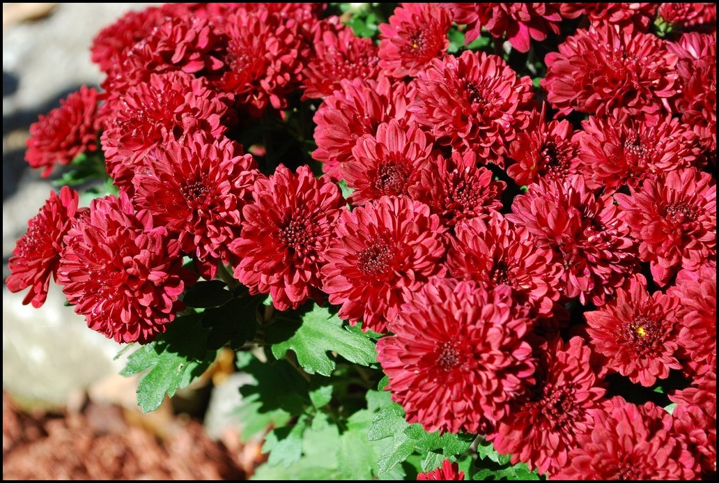 How To Grow Mums From Seed