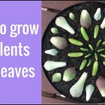 How To Grow Succulents From Leaves