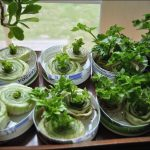 How To Grow Vegetables From Scraps