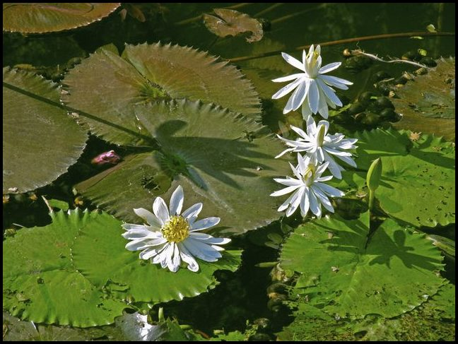 How To Kill Lily Pads