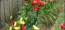 How To Plant Lilies