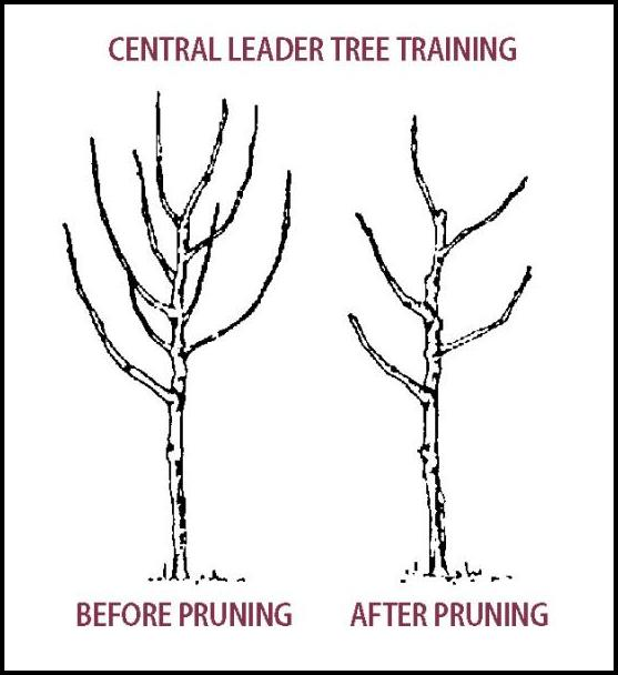 How To Prune A Pear Tree