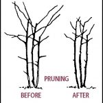 How To Prune Blackberry Bushes