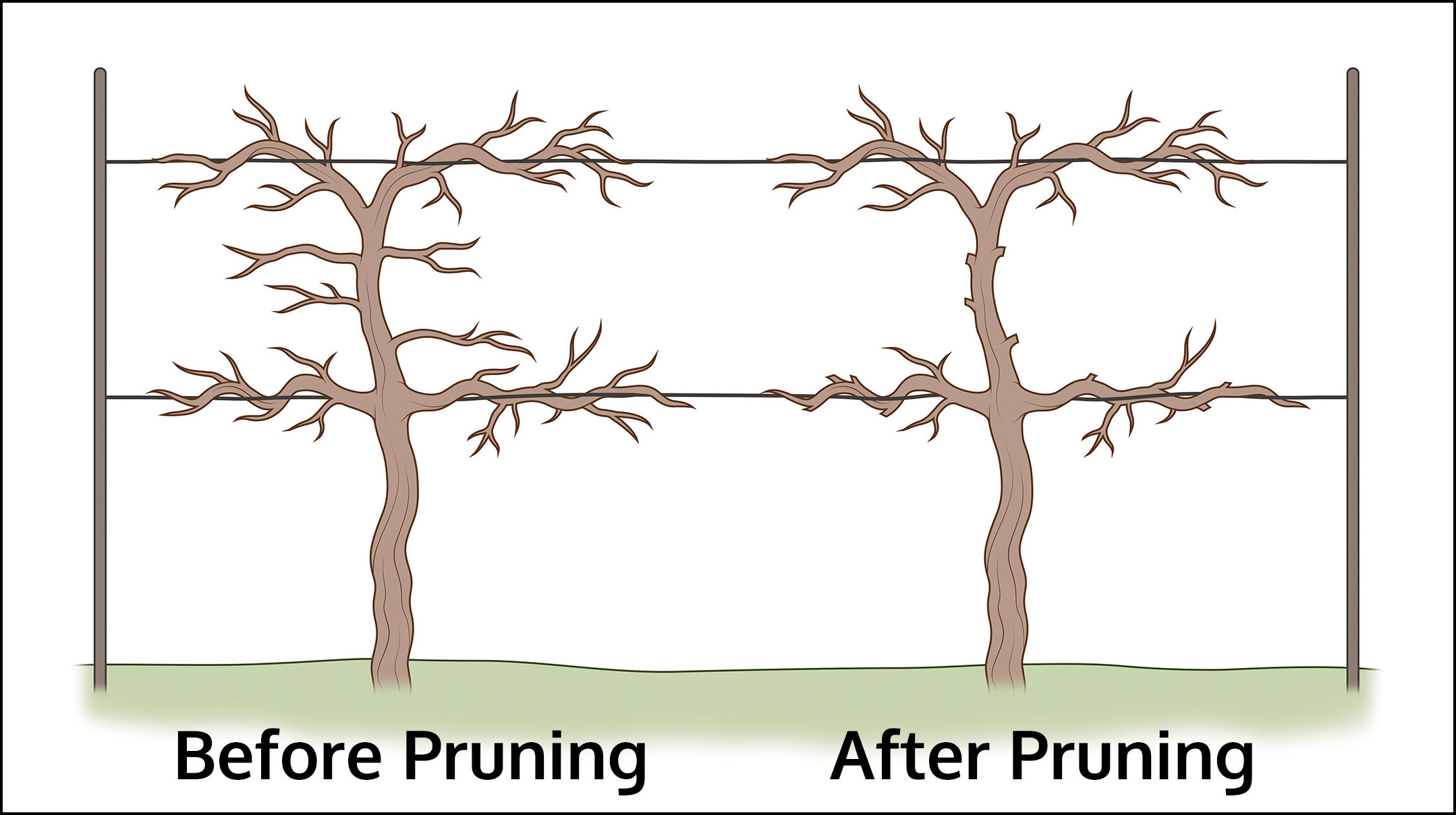 How To Prune Grapes