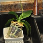 How To Replant Orchids