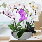 Live Orchids For Sale