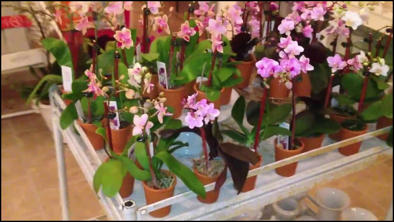 Miniature Orchids For Sale