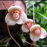 Monkey Face Orchid For Sale