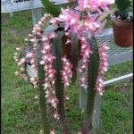 Orchid Cactus For Sale
