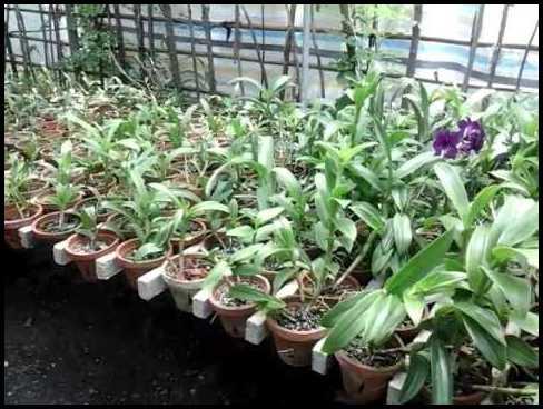 Orchids Plants For Sale